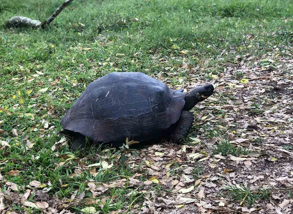 A medium-sized Galapagos giant tortoise wondering through grass and leaves at the Charles Darwin Research Center on Santa Cruz Island.