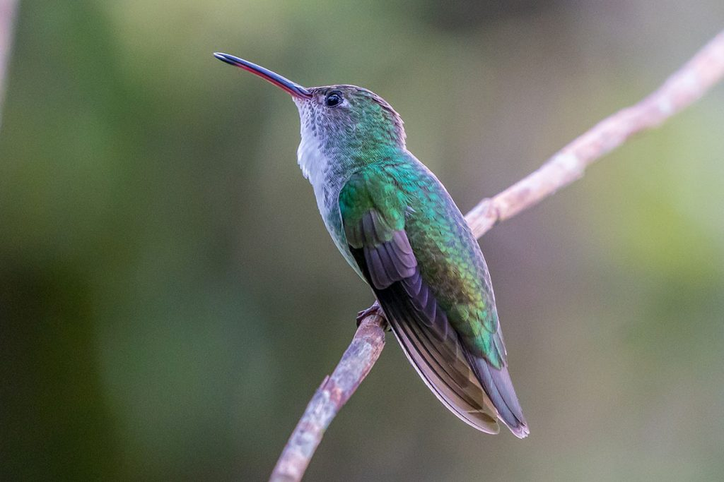 A green-and-white hummingbird sits on a twig and looks up and to the left.