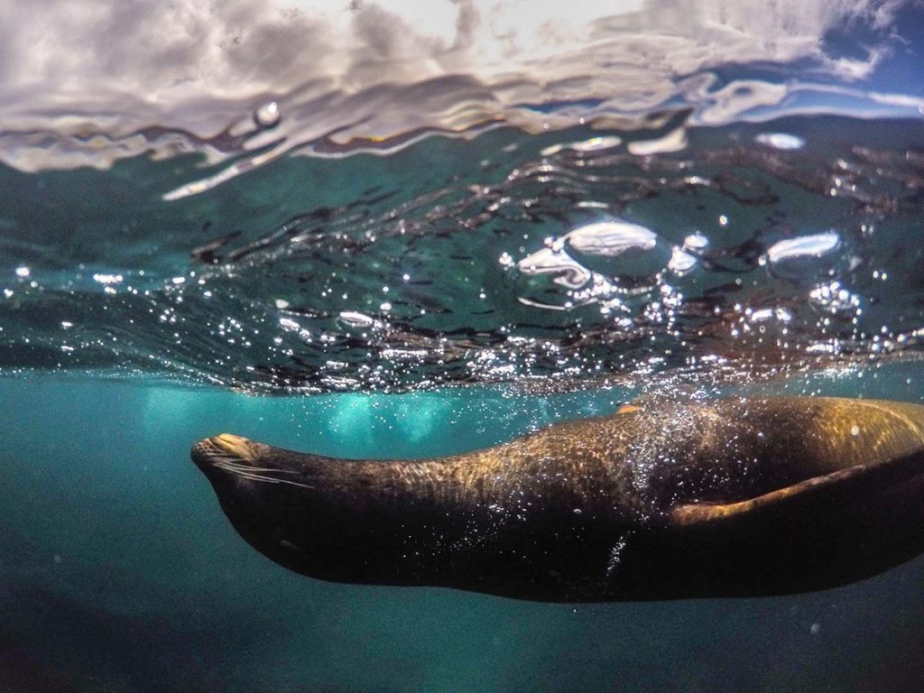Sea lion swimming on its back near the surface of the water in the Galapagos Islands.