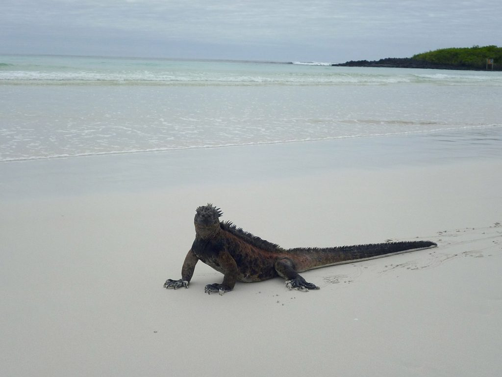 A marine iguana on the white sandy beach of Tortuga Bay on Santa Cruz Island, Galapagos.