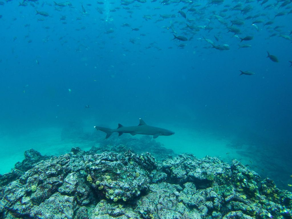 A whitetip reef shark swims by jagged rocks with a school of fish above.