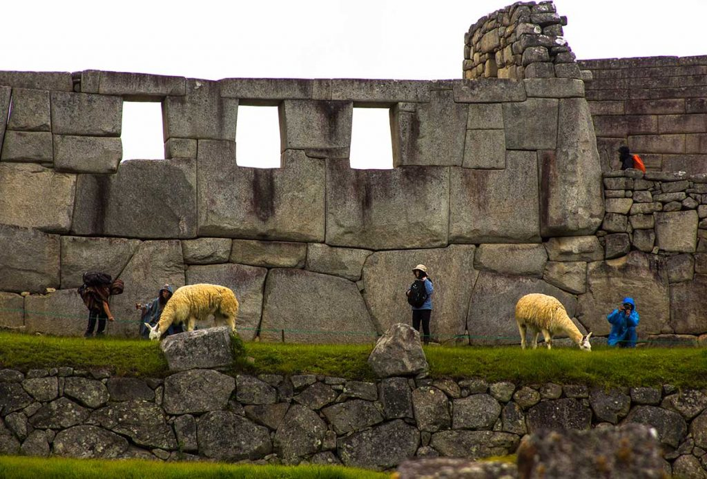 Tourists take photos with the llamas in Machu Picchu on a very cold and rainy day. The llamas are grazing on the grass in front of the ruins.