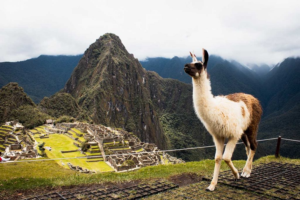 A llama walks around the ruins in an fenced off area. The llama is dark and light colored. The view of Machu Picchu is cloudy but visible.