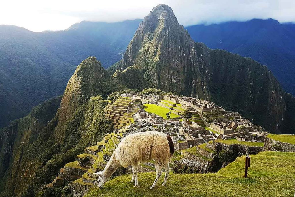 A white llama is grazing on the green grass on a partly cloudy day in Machu Picchu. The llama is directly in front of the ruins in the frame.