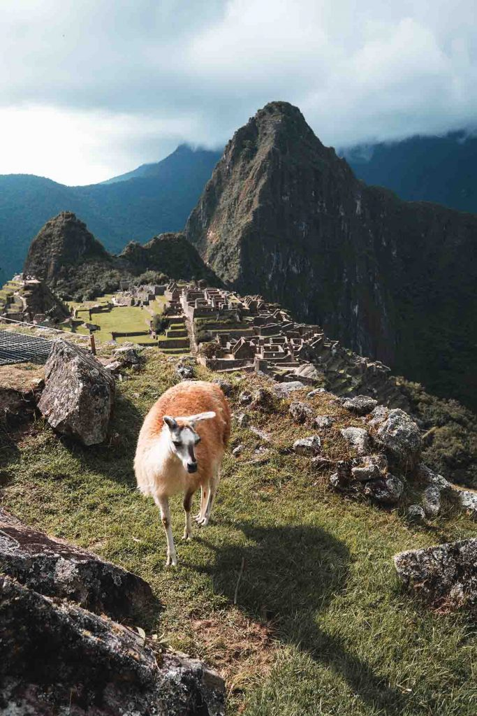 A large brown llama walks through the main ruins in Machu Picchu. Huayna Picchu is visible in the background on a partly cloudy day.