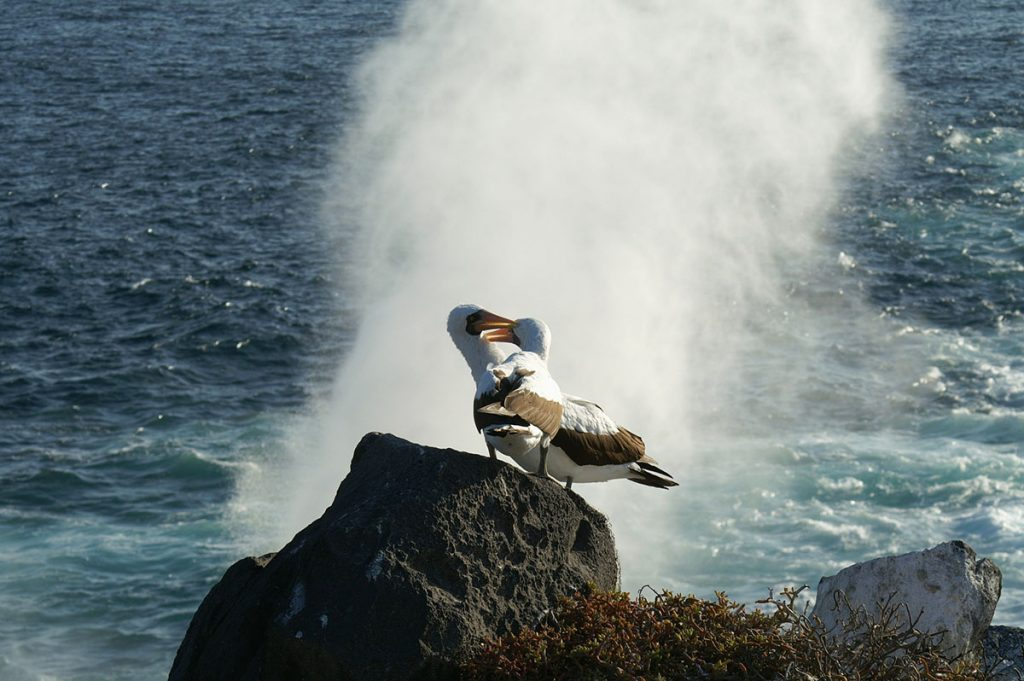 A pair of albatross stand on a black lava rock as a wave breaks behind them.