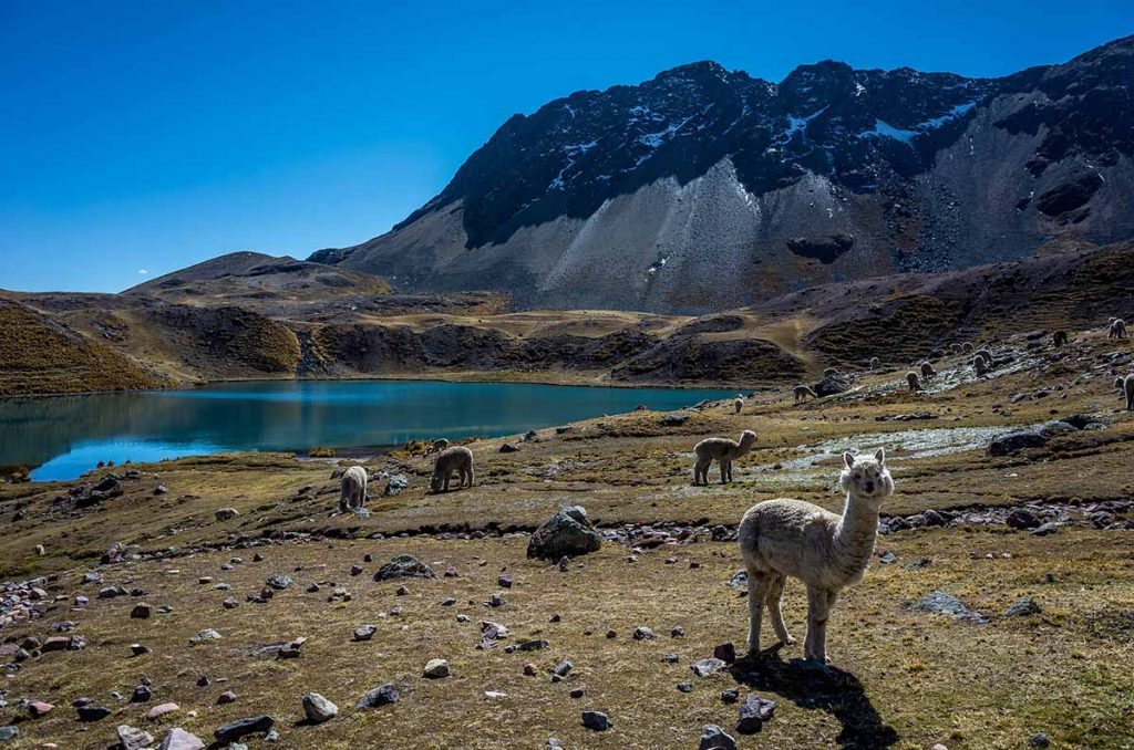 alpacas standing next to a blue lagoon with mountains in the background