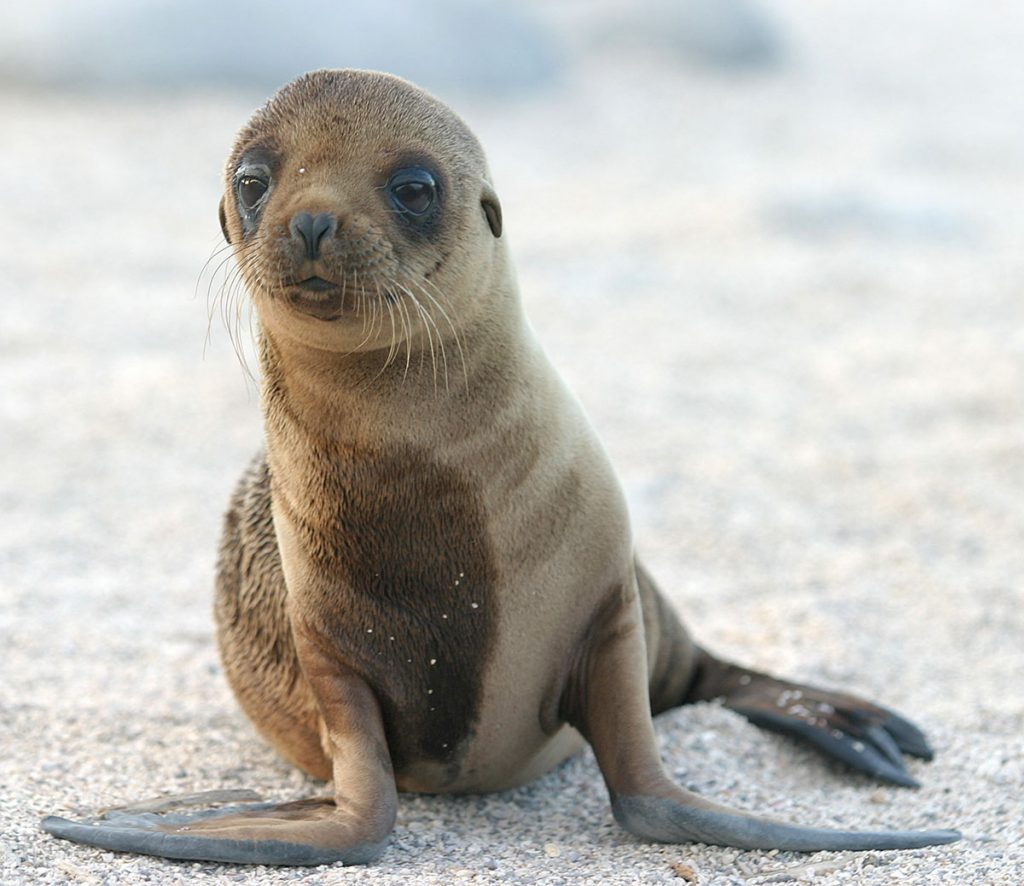 A sea lion puppy stands on a white sandy beach looking past the camera with its large, round eyes.