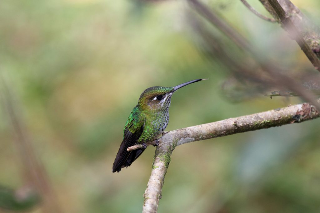 A violet-fronted brilliant hummingbird, a very small species with a bright green back and black wings, sits on a tree branch.