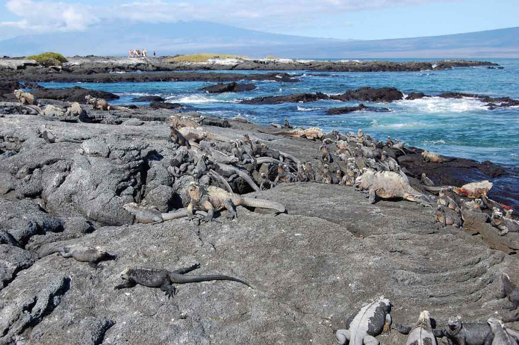 a number of iguanas sitting on a black, rocky coast with the ocean in the background