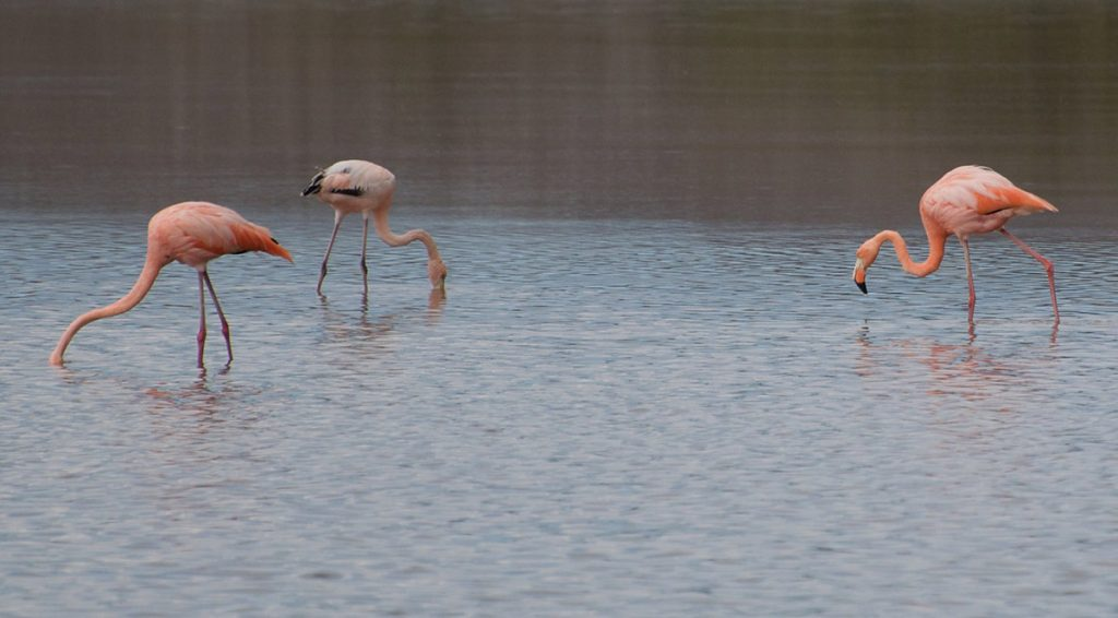 three pink flamingoes in a lagoon putting their heads into the water