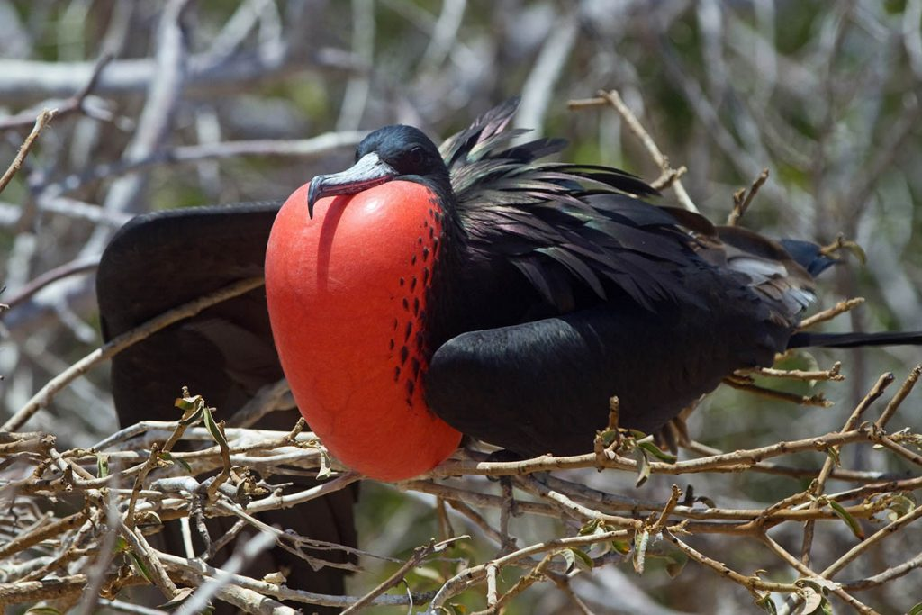 A frigatebird sits in bramble as it inflates its bright red gular pouch with its black wings puffed up.