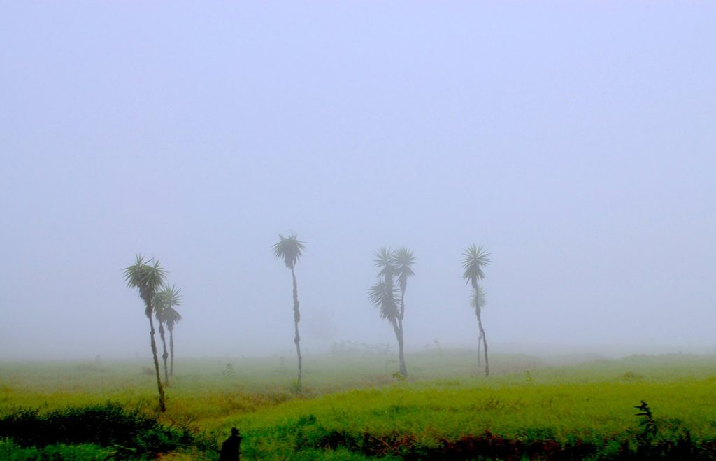 Four palm trees stand in the mist of the Galapagos highlands.