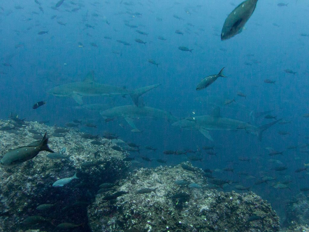 Sharks swim through hazy water along an outcrop of rocks surrounded by small fishes.