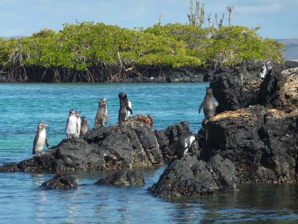 Galapagos penguins stand on black lava rock jutting out of the water of the shores of a mangrove covered island.