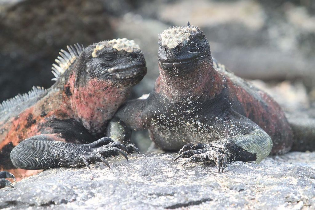 A close up of a pair of black and red land iguanas on a white sand beach.