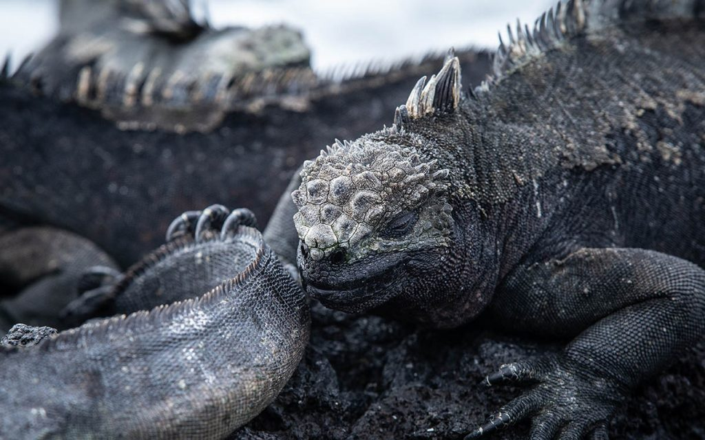 A black marine iguana surrounded by other iguanas suns and naps on a Galapagos beach.