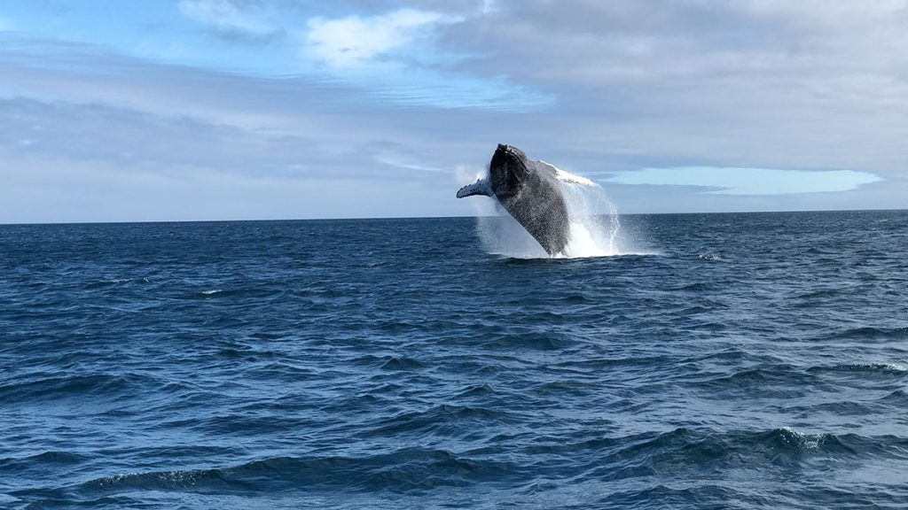 A humpback whale breaches on a sunny day with its back arched towards the deep blue ocean.
