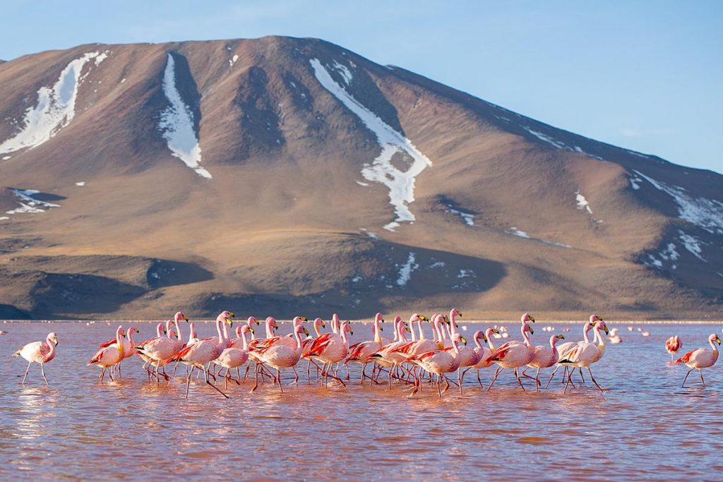 A large flock of pink flamingos walks through the Laguna Colorada with a mountain in the background.