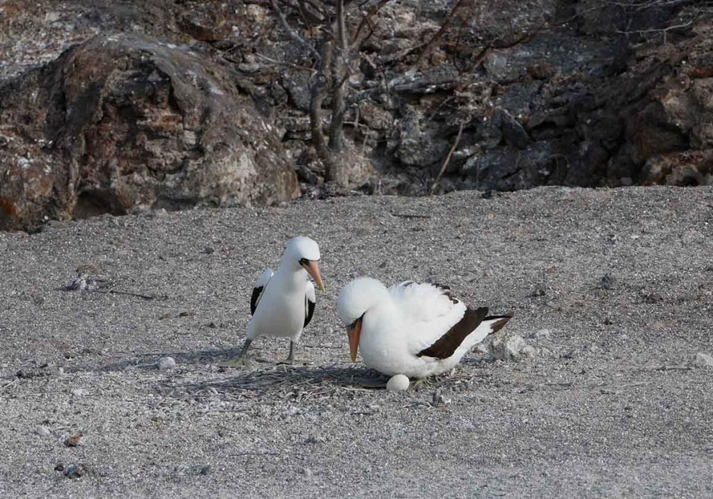 A pair of white Nazca boobies with black-edged wings incubate their egg on a Galapagos beach.