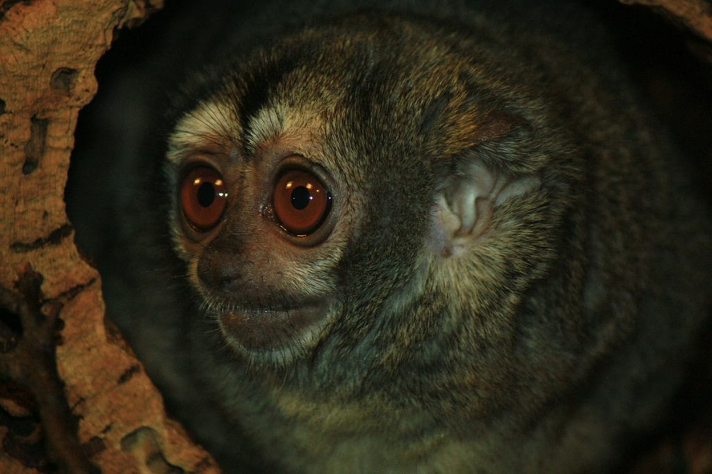 A night monkey, with large, round brown eyes, looks out from a hole in the trunk of a tree.