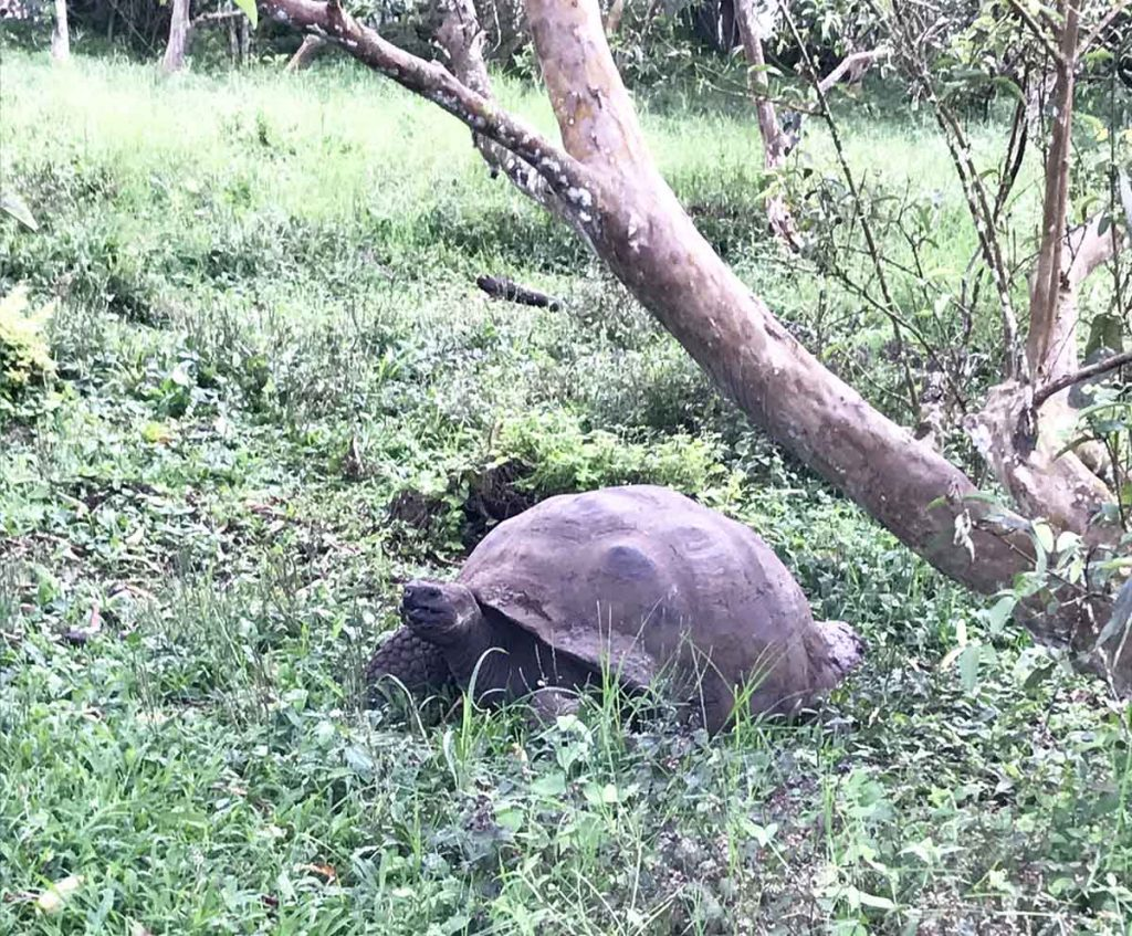 A Giant tortoise sitting in the grass with trees in the background
