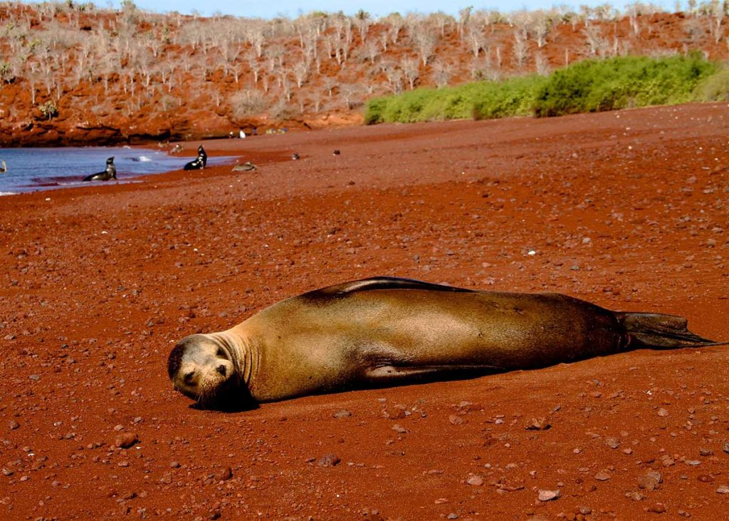 a sea lion lying down on a red sandy beach with two more seals in the sea in the background
