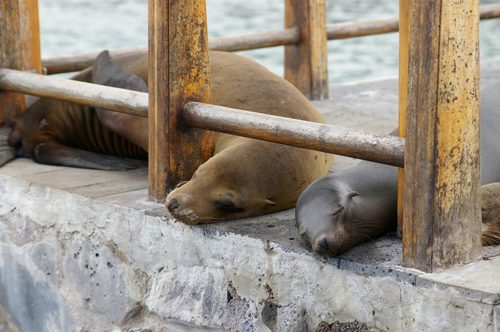 Two sea lions nap on the edge of a cement pier beneath a railing.