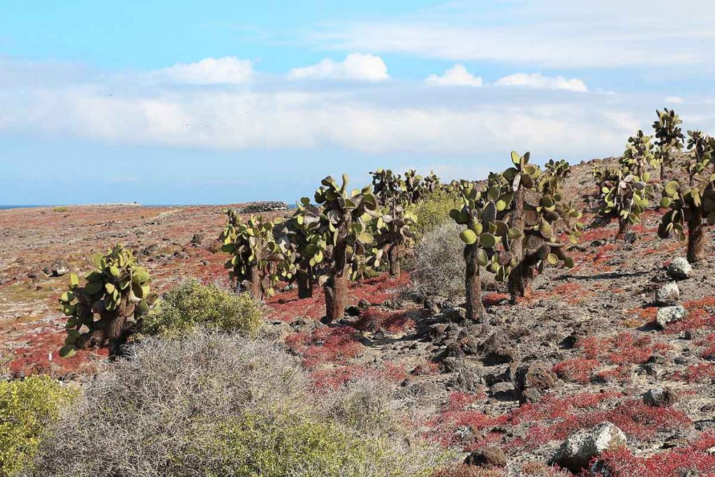 prickly pear cacti on a large open plain with red terrain and blue sky