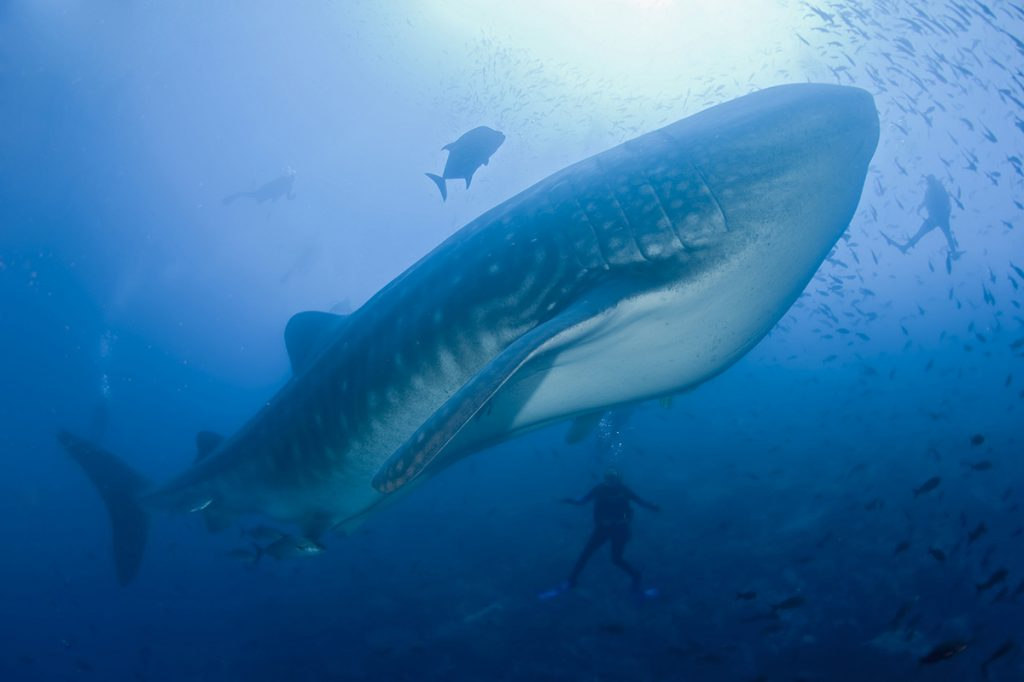 Two scuba divers observe a large whale shark as the sun hits the surface of the water above.