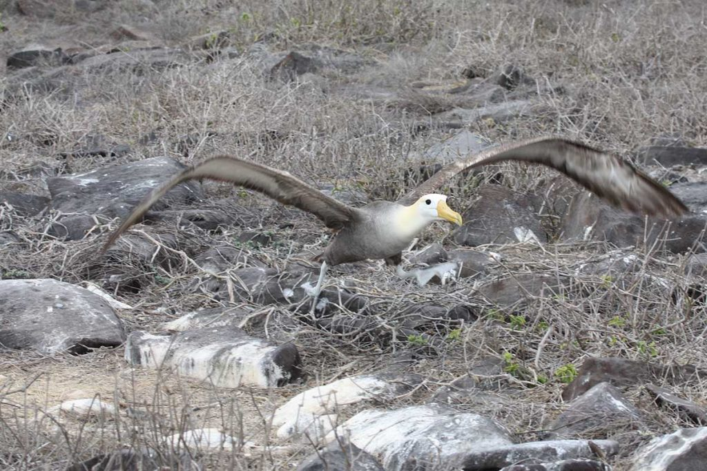 An albatross with its wings spread attempts to take off the rocky ground with small patches of grass and shrubs on it.
