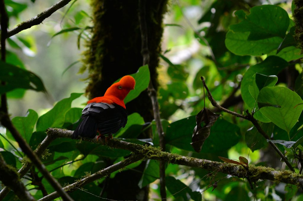 An adult male Andean Cock-of-the-rock sits on a branch in a lush Peruvian forest facing rightward.