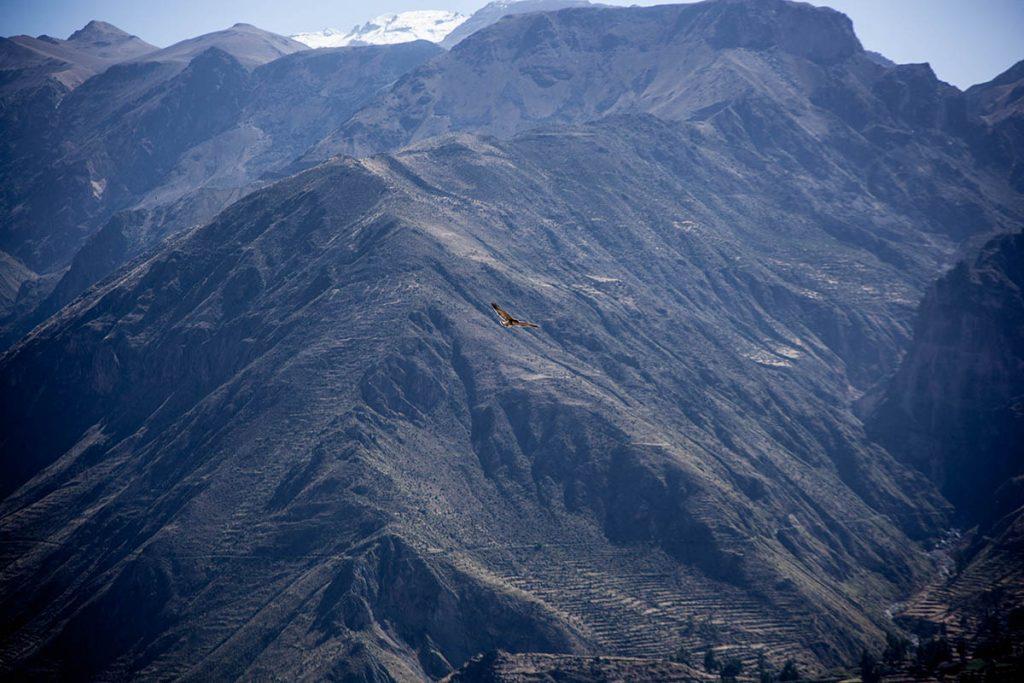 An Andean condor soaring through the Colca Canyon.