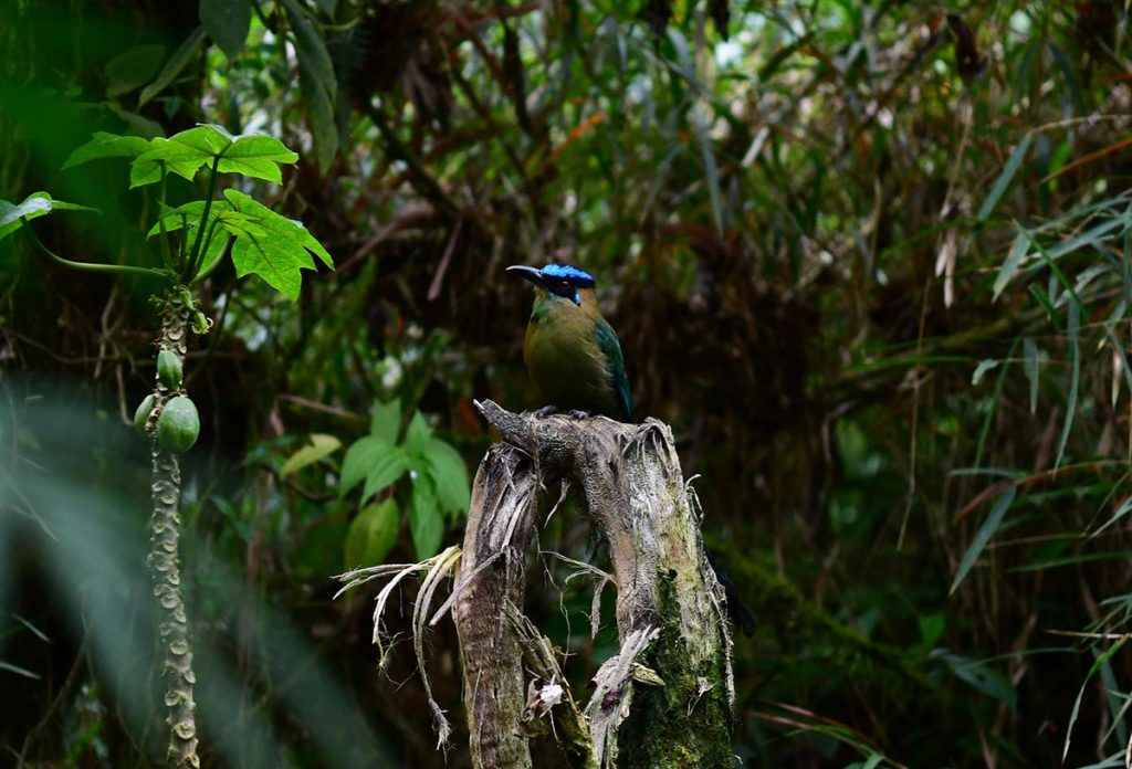An Andean motmot resting in a dark green forest facing leftward.