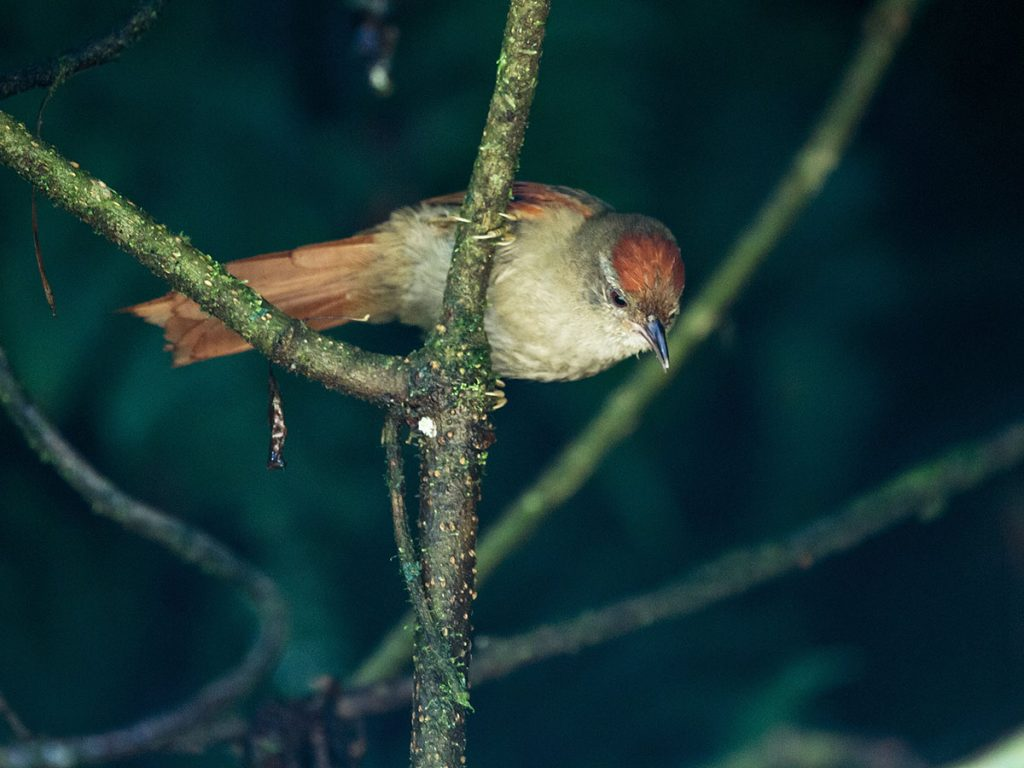 An ash-browed spinetail resting on a twig looking downward with dark background.
