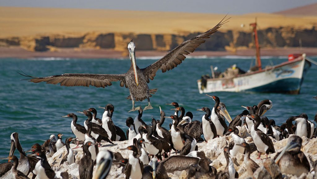 Guanay cormorants standing on rocks in the Ballestas Islands with a Peruvian pelican hovering above.