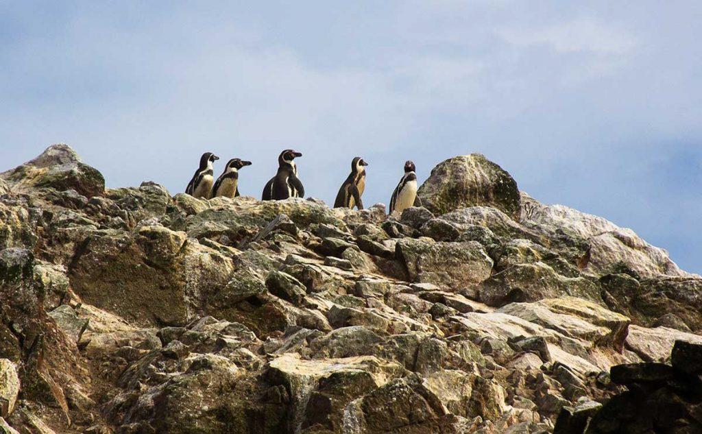 Six Humboldt penguins stand on top of rocks in the Ballestas Islands.
