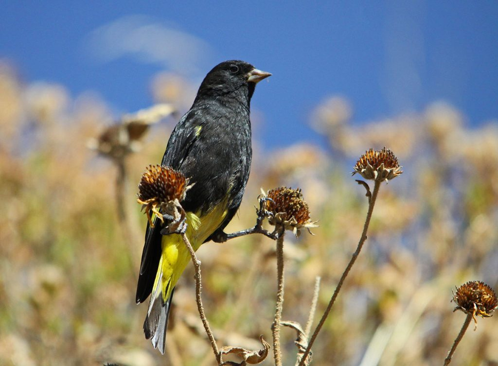 A black siskin resting on a flower with blue sky in the background.