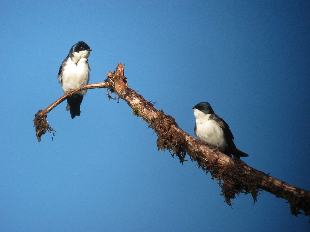 Two blue-and-white swallows on a branch facing each other with deep blue sky.