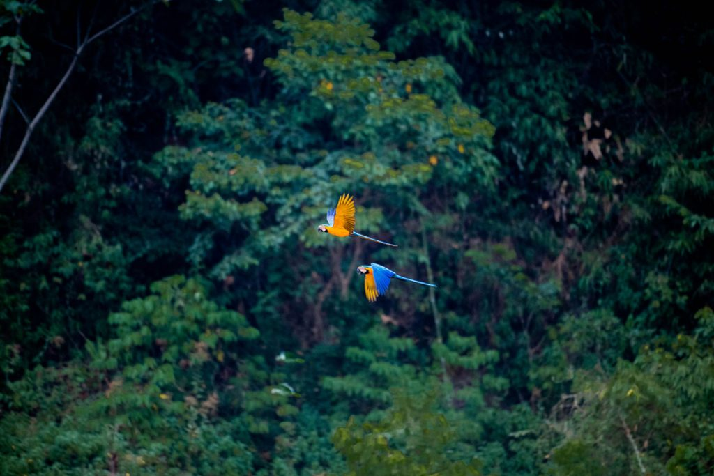 Two blue-and-yellow macaws flying   through the deep green rainforest.
