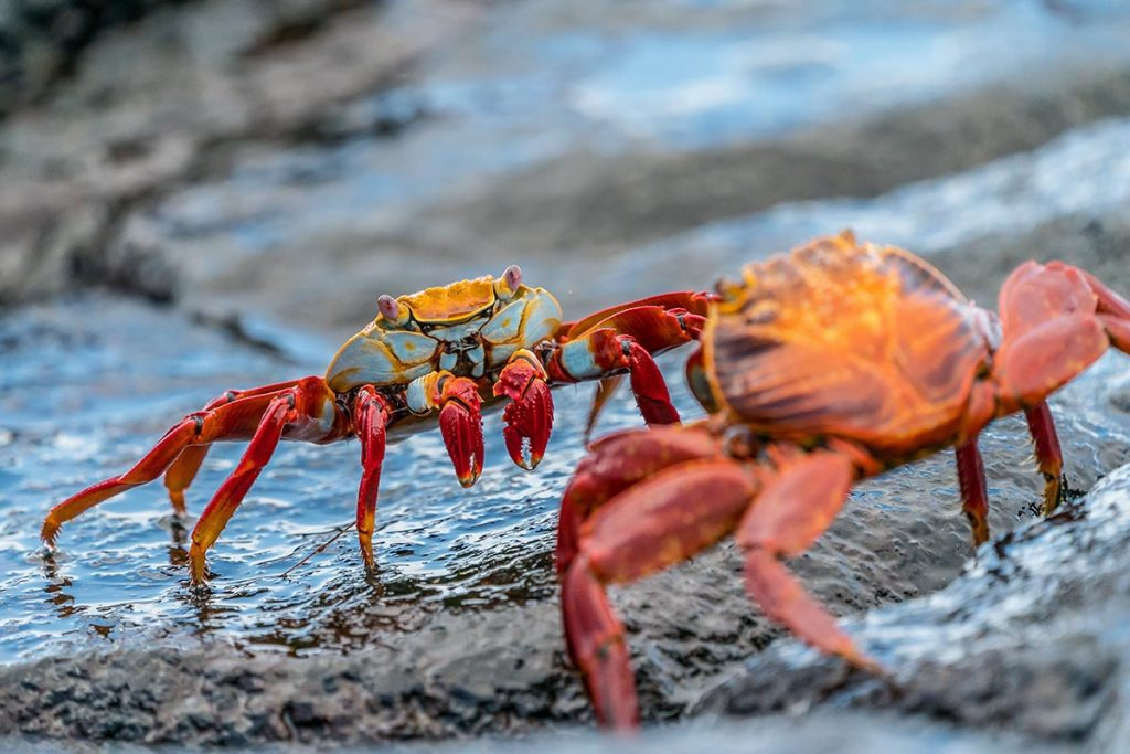 A sally lightfoot crab faces off against another sally lightfoot crab on a wet and shining rock.