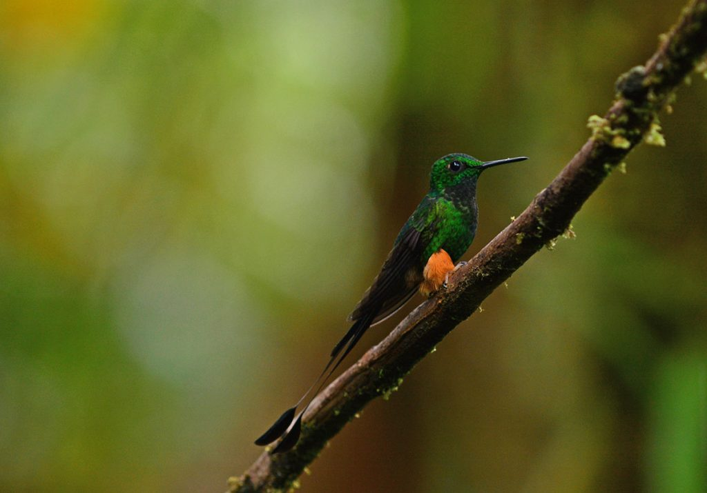 A white-booted racket-tail perched on a dark brown branch facing rightward.