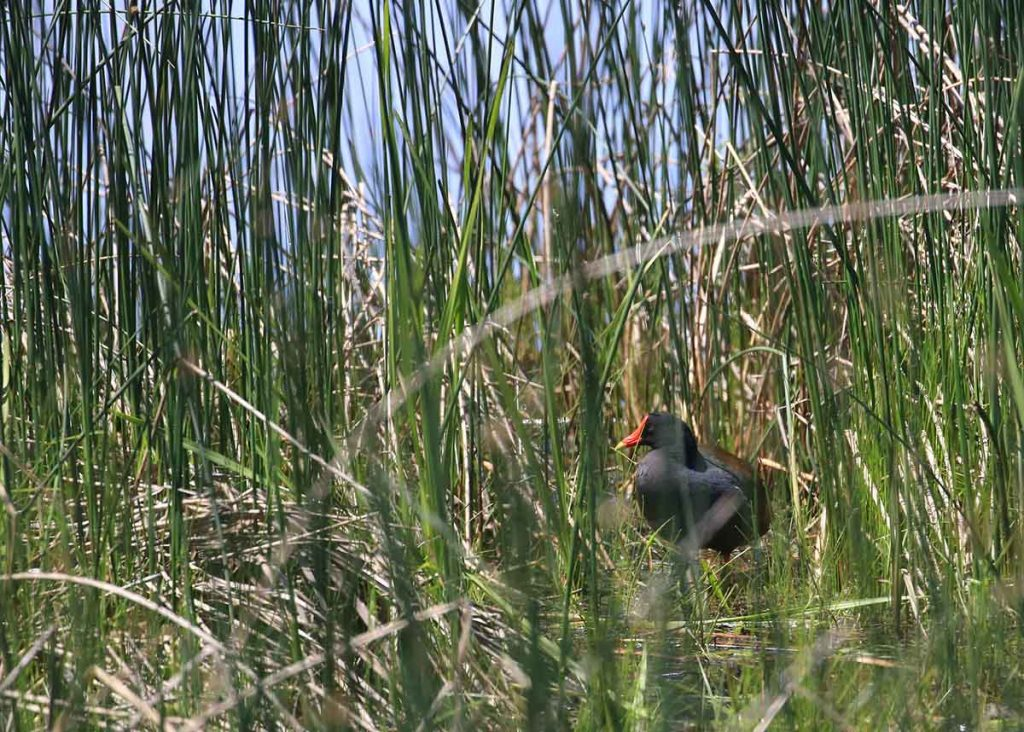 A common gallinule sitting on the ground facing leftward, partially obstructed by plants.