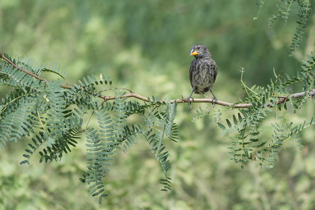 A cream and dark brownish gray finch with a short yellow beak sits on a thin tree branch with fern-like green leaves.