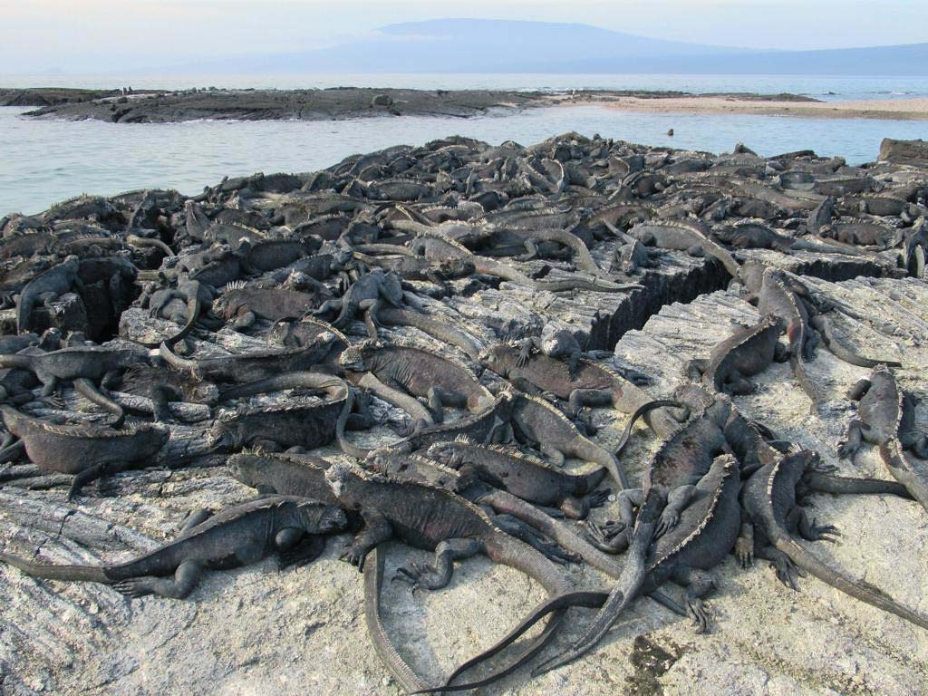 Dozens of black marine iguanas fill up an expanse of rock leading to a narrow inlet of sea buffered by another slab of rock.