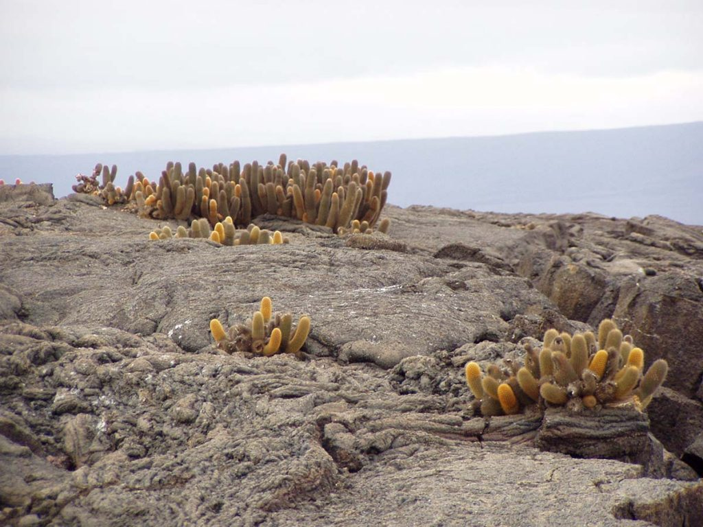 Three bunches of fuzzy, cucumber-shaped, dull yellow cacti grow out of lava rock that overlooks the ocean.