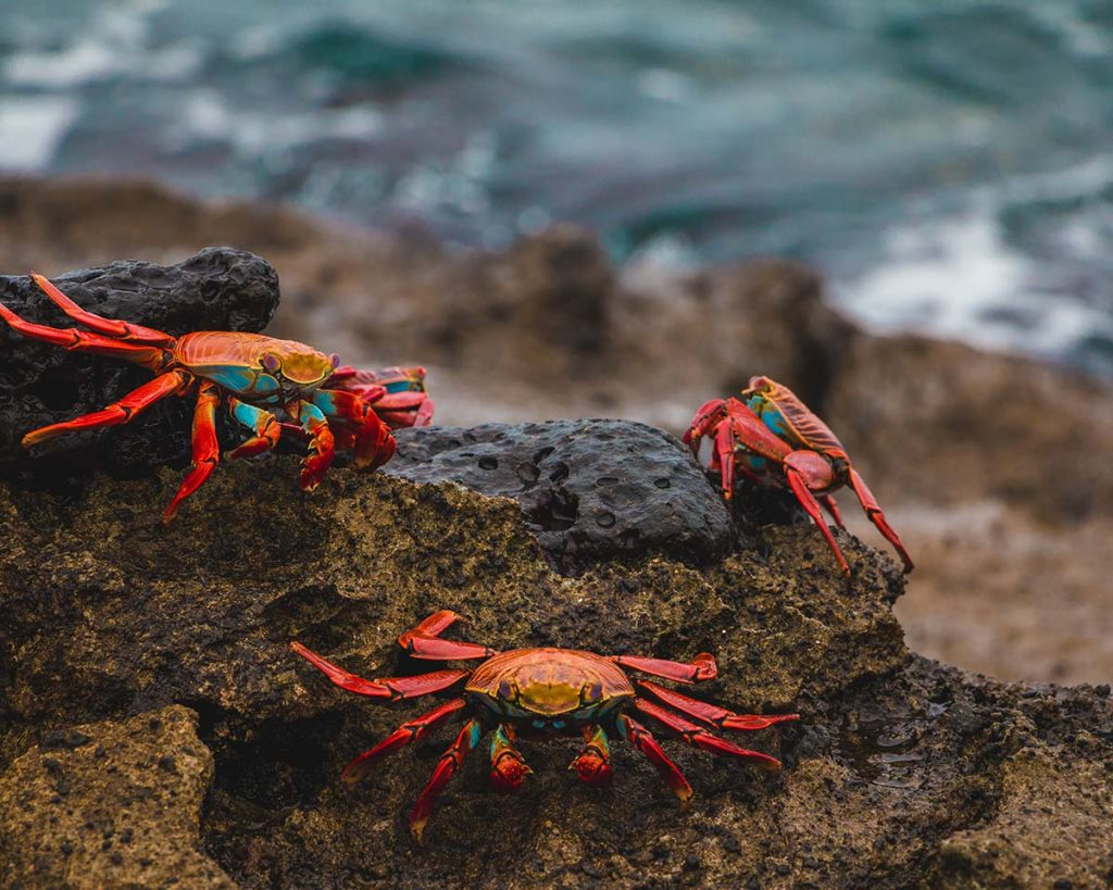 Three sally lightfoot crabs perch on a rough lava rock with the sea below.