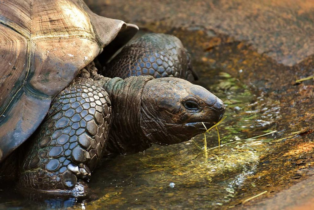 A Galapagos giant tortoise sits in a shallow pool of water with bits of grass around its mouth.