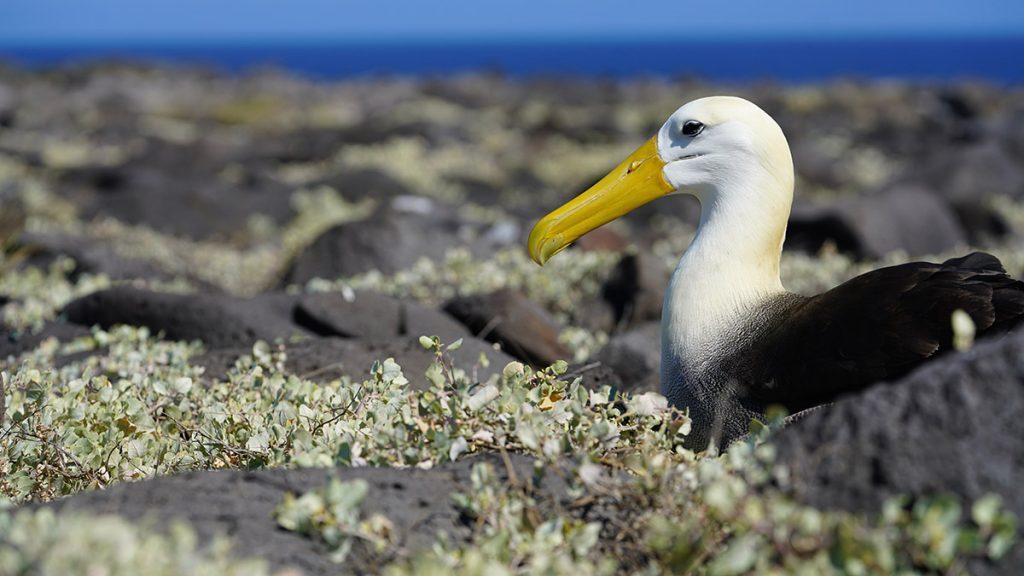 A waved albatross sits low among an expanse of rocks sparsely covered in green scrub plants.