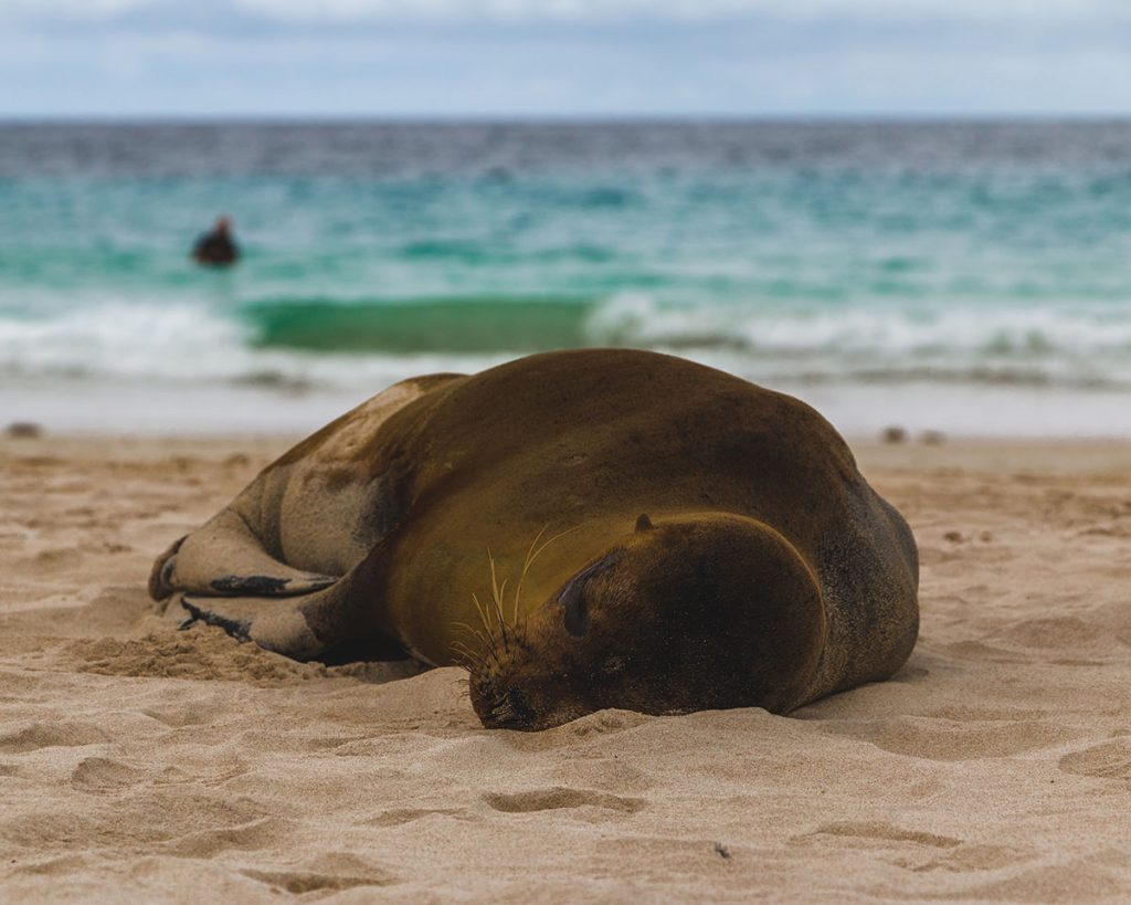 A sea lion naps curled up on a soft sandy beach leading to a turquoise sea where someone is swimming.